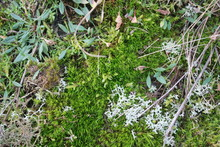 Close Up Sea Beautiful Natural Seaside Flora Of White Lichen Bloom Blossom Green Moss Plants And Shoots Of Greenery Brown  Heather Hint Purple Tiny Flowers All Growing Sandy Soil Seaside Beach Dunes
