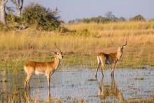 Red Lechwe (Southern Lechwe) (Kobus Leche), Bushman Plains, Okavango Delta, Botswana