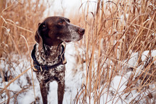 A Purebred German Shorthaired Pointer Standing In Tall Grass In The Winter.