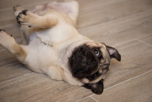 Cute Small Dog Breed Pug Lying On Back And Begging To Play With It