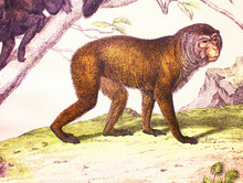 Lobed Gibbon In A Vintage Book History Of Animals, By Shubert/Korn, 1880, St. Petersburg