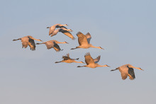 Flock Of Sandhill Cranes In Flight At Bosque Del Apache National Wildlife Refuge In New Mexico