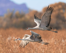 Two Sandhill Cranes In Flight ...