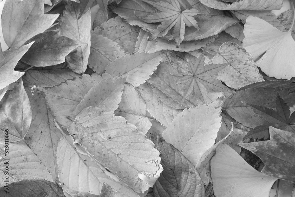 Fototapeta 紅葉 かえで けやき いちょう もみじ 落ち葉 葉 赤色 黄色 接写 マクロ 白バック 白背景 たくさん 一面 白黒 モノクロ
