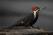 Pileated Woodpecker Standing O...