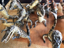Taxidermy Of Young Crocodiles ...