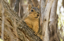 Fox Squirrel II