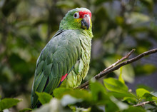 Red-Lored Amazon Parrot In A Costa Rica Tropical Rainforest. Also Known As The Rainbow Toucan