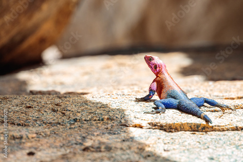 Selective focus shot of  red-headed rock agama on the ground Wallpaper Mural