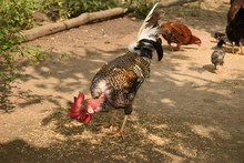 A Naked Neck Rooster Chicken F...