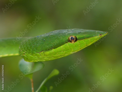 Photo Oxybelis fulgidus, commonly known as the green vine snake or the flatbread snakeis a species of long, slender, arboreal colubrid snake