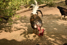 A Naked Neck Rooster Chicken Feeding Paddy