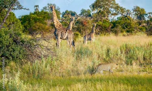 African safari scene in Botswana, with a male leopard moving through long grass near three giraffes, who are watching him with caution and alertness.