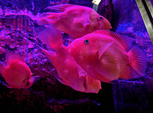 Blood Parrot Cichlid  Commonly...