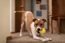Cute Puppy Playing With Toy In...