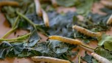 Silk Worm Eating Green Leaf In...