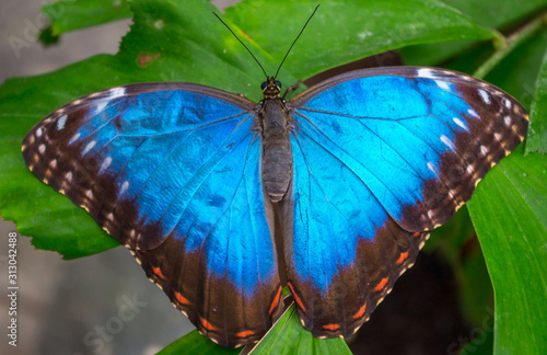 Fototapeta Morpho peleides, the Peleides blue morpho, common morpho or the emperor is an iridescent tropical butterfly found in Mexico, Central America, northern South America, Paraguay and Trinidad