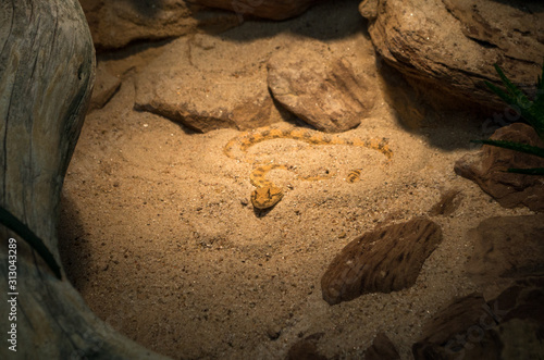 Cerastes cerastes, commonly known as the Saharan horned viper or the horned desert viper, is a venomous species of viper native to the deserts of northern Africa and parts of the Middle East Slika na platnu
