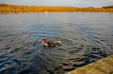 Muscovy Duck Taking A Bath On ...