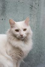 Chat Blanc Rêveur