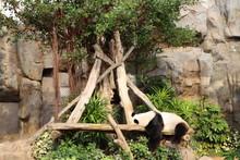 팬더(Panda)