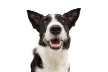 Portrait Smiling Border Collie Dog Sticking Out Tongue, Looking Up. Isolated On White Background.