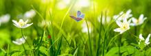 Dreamy White Spring Anemone Fl...