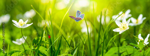 Dreamy white spring anemone flower bloom, grass, ladybug, butterfly close-up against sunlight panorama Wallpaper Mural