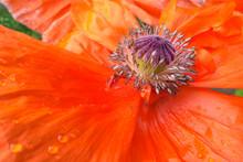 Pestle And Stamens Of A Blosso...