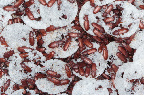 beetle of confused flour beetle Tribolium confusum known as a flour beetle Poster Mural XXL