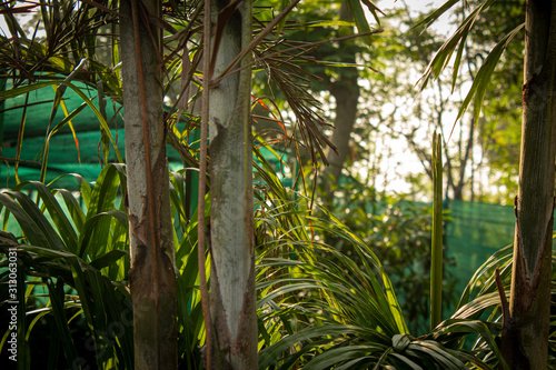 Photo Young palm trees in a nursery garden