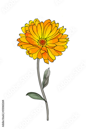 Obraz Single hand drawn yellow flower calendula on branch with green leaves. Isolated on white background. Vector stock illustration. - fototapety do salonu