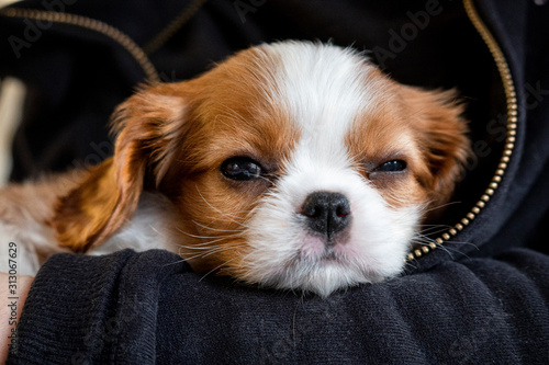 Cuadros en Lienzo Purebred cute puppy Cavalier King Charles Spaniel napping in arms, close-up, sel
