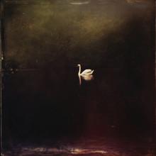 Swan, Dark, Poetic