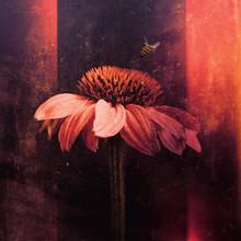 Echinacea With Bumblebee, Pink...