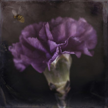 Carnation, Violet With Bumblebee