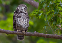 Spotted Owlet Bird Sleeping On A Branch In Nature