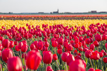 A Field Of Red And Yellow Tuli...
