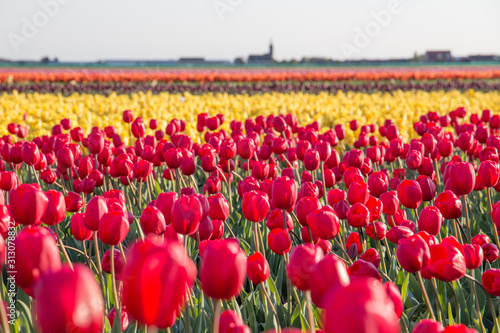 A field of red and yellow tulips in the Dutch bulb fields.