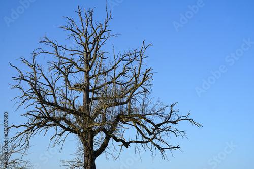 Obraz na plátně Die ausladende Krone eines alten Birnbaums