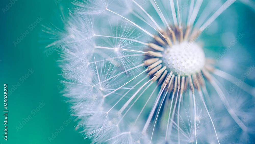 Fototapeta Closeup of dandelion on natural background, artistic nature closeup. Spring summer background
