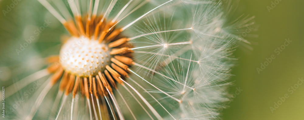 Fototapeta Closeup of dandelion with blurred background, artistic nature closeup. Spring summer meadow field banner background