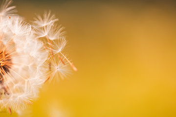 Dandelion seed in golden sunlight, abstract spring summer nature, meadow field closeup