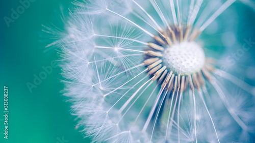 Closeup of dandelion on natural background, artistic nature closeup. Spring summer background