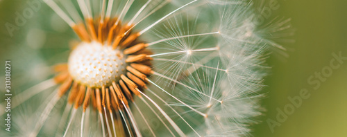 Fototapeta Closeup of dandelion with blurred background, artistic nature closeup. Spring summer meadow field banner background obraz