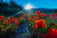 Field Of Red Poppies On Bright Summer Day