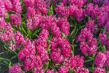 Background Purple Grape Hyacin...
