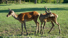 Two Young Red Deer Graze On The Lawn Of A Deer Nursery In The Rays Of The Evening Sun