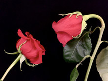 A Pair Of Blooming Red Roses On A Black Background. Two Roses Stretch To Each Other. Concept: Love, Relationships, Passion.