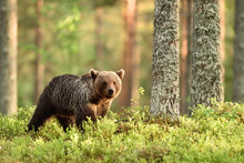 Young Brown Bear In Forest Scenery